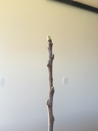 Buds are opening after one week